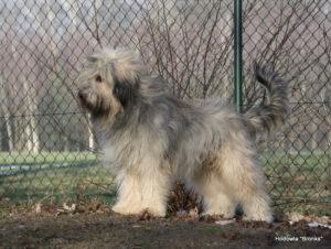 OTO BALIN Bronks Catalan Sheepdog