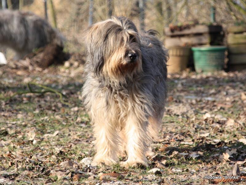 Hot Pot's INCA Catalan Sheepdog